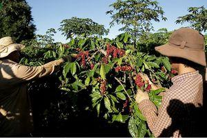 Ngành cà phê Tây Nguyên lao đao vì dịch Covid-19