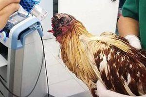Clip kinh ngạc gà mất đầu vẫn sống ở Thái Lan
