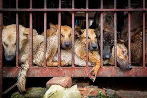 5 triệu chó và 1 triệu mèo bị giết lấy thịt tại Việt Nam hằng năm