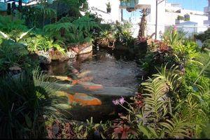 Độc đáo hồ cá Koi trị giá hàng tỷ đồng trên sân thượng của đại gia Sài thành