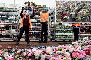 Hàng triệu bông hoa Hà Lan bị vứt bỏ vì dịch COVID