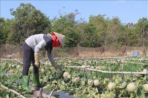 Dịch COVID-19: Vùng chuyên canh dưa lưới gặp khó vì giá giảm, tiêu thụ chậm
