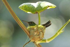 Chim ruồi xây tổ có mái che mưa