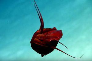 Loài mực kỳ lạ có hình dáng như quả tim người