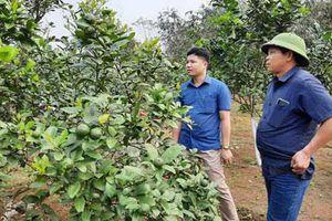 Yên Bái: Hiệu quả cao từ trồng chanh 4 mùa