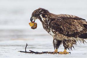 Đại bàng 'phát cáu' khi nhầm vịt nhựa là thức ăn