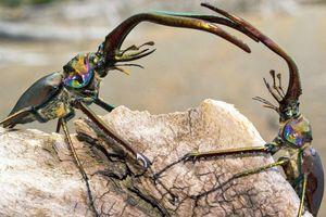 Bọ cánh cứng hất văng bạn tình sau khi giao phối