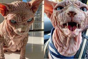 Mèo đáng sợ nhất thế giới, da 'nhăn nheo như não người'