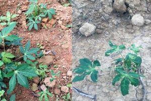 Thanh Hóa: Khống chế bệnh khảm lá sắn