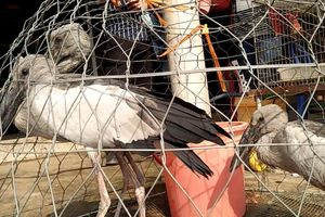 Tỉnh Long An chỉ đạo triệt phá 'đặc khu' bán lậu chim trời Thạnh Hóa