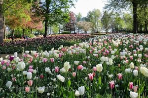 Ngắm vườn hoa tulip rực rỡ tại Hà Lan giữa mùa dịch
