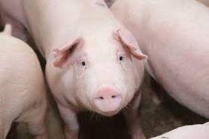 Giá lợn hơi bắt đầu giảm, thịt tại chợ vẫn đắt
