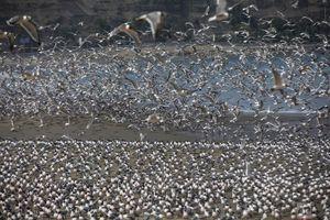 Hàng nghìn con chim đậu kín bãi biển do ảnh hưởng dịch bệnh
