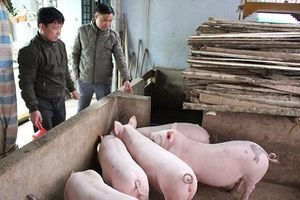 Thái Nguyên tái đàn rất chậm sau dịch tả lợn châu Phi