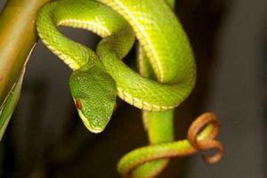 Đuổi rắn bằng chế phẩm rẻ tiền, an toàn cho cả người lẫn rắn