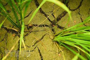 Nhiều diện tích lúa, cây trồng bị thiệt hại do khô hạn kéo dài