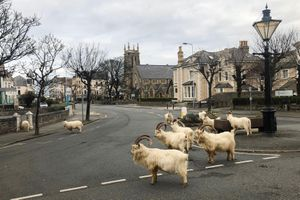 Đường phố xứ Wales bị đàn dê trắng xâm chiếm giữa mùa phong tỏa ngừa Covid-19