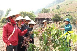 Sơn La: Nhiều mô hình sản xuất nông nghiệp hiệu quả
