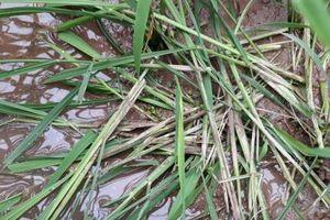 Nam Định: Chuột hoành hành phá hại lúa