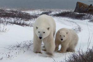Mẹ con gấu Bắc Cực hoảng sợ vì tách nhau