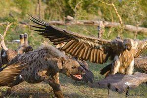 Linh cẩu một mình chiến với cả bầy kền kền