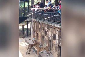 Dân mạng bất bình công viên cho hổ ăn như trò câu cá