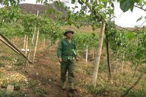 Chanh leo Sơn La trước thảm cảnh dịch bệnh: Nguy hiểm giống trôi nổi!