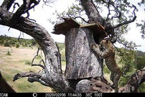 Báo đốm ung dung ăn thịt phượng hoàng đất
