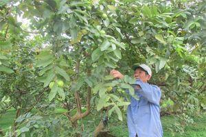 Hà Nội: Vựa ổi sạch ven sông Hồng thu 40 tỷ đồng/năm