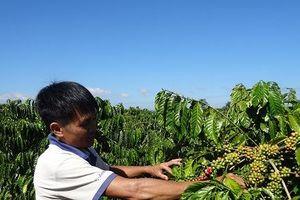 Giá cà phê xuống dưới 30.000 đồng/kg