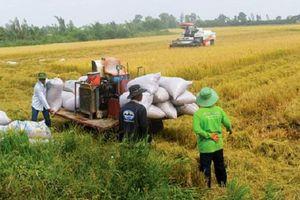 Canh cánh nỗi lo sụt giảm giá lúa