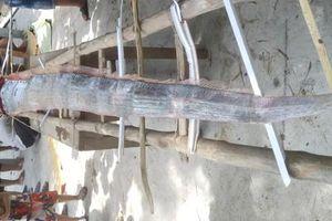 Cá hố dài 4m trôi dạt bờ biển Quảng Ngãi là một con Oarfish Thái Bình Dương khổng lồ
