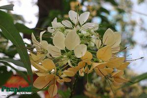 Vì sao cây bún 'độc nhất vô nhị' ở Hà Nội chưa được công nhận cây di sản?