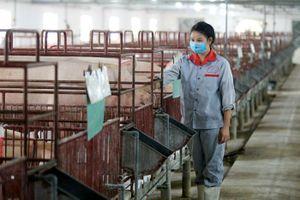 Lo dịch tả lợn tái phát tại Ứng Hòa