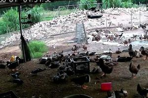 Tắt camera, tự ý xông vào trang trại bắt hàng nghìn con vịt để trừ nợ