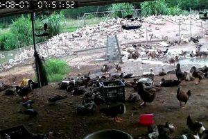 Xông vào trang trại bắt 5.000 con vịt, chủ đại lý cám bị khởi tố