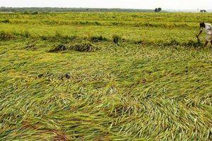 Quảng Bình: Sau 5 phút mưa đá, 36 hecta lúa chuẩn bị gặt đổ rạp