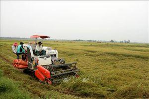 Hàng nghìn héc-ta lúa sắp thu hoạch tại Quảng Bình bị đổ rạp do mưa gió lớn
