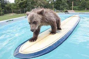 Ảnh đẹp: Gấu nâu trổ tài 'lướt ván'