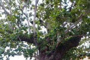ĐI VỀ MIỀN DI SẢN: Cây bàng Côn Đảo phủ bóng thời gian