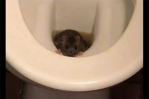 Top 5 sự thật kinh dị về loài chuột, bạn đã biết được bao nhiêu?