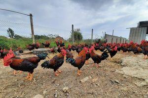 Cần số hóa dữ liệu ngành chăn nuôi để tăng tính dự báo