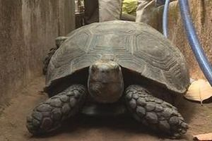 Phát hiện 127 cá thể rùa được một hộ dân ở Đak Lak nuôi nhốt trong nhà