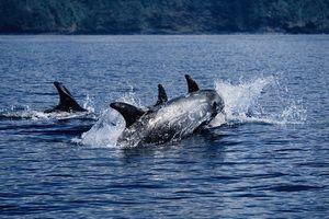 Hàng đàn cá heo, cá đuối, cá mập xuất hiện dọc bờ biển vì vắng người