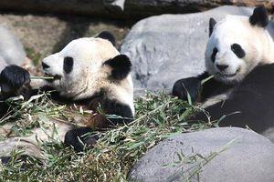 Không đủ tre, vườn thú Canada gửi trả gấu trúc về Trung Quốc