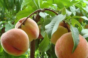 Cách chọn đào tươi ngon ngọt, không sợ hóa chất bảo quản độc hại