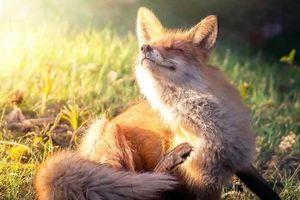 Chùm ảnh: Những chú cáo đẹp mê hồn như bước ra từ cổ tích