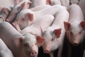 Thadi và Hùng Vương góp vốn, lập công ty sản xuất heo giống