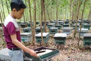 Hơn 200 đàn ong nuôi lấy mật đồng loạt chết, nghi bị kẻ xấu đầu độc