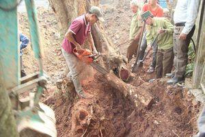 Số phận lô gỗ sưa 'trăm tỷ' ở Hà Nội ra sao sau dịch COVID - 19?